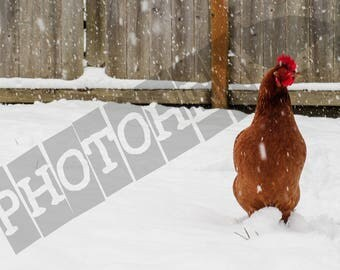 Snow Chicken - Instant Digital Download - Printable - Fine art - Animal Photography