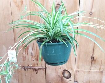 "Spider Indoor Hanging Plant Pot, live plant, hanging planter, gift - 6"" or 8"""