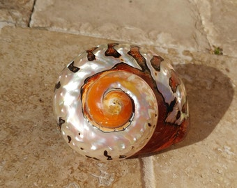 Smarticus - Polished Seashell - Pearlized Black and Orange Turbo - African Smarticus Seashell 217