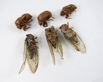 Imperfect Adult Cicadas plus Exoskeletons, Large Winged Insect, Big Creepy Bug Specimens