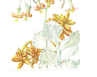 1958 Vintage succulent poster Sedum Nussbaumeriana Vintage succulent print Cotyledon Undulata Plant poster Botanical art Succulent art