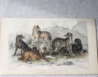 Antique Print, Hand Coloured Engraved Illustration of Dogs, Fine Art Print, Original Print