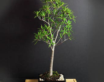 """Willow leaf fig bonsai tree, Fall'17 """"Ancient Fig"""" collection from LiveBonsaiTree"""