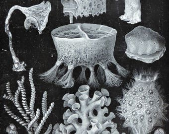 Sponges print. Porifera print. Old book plate, 1904. Antique illustration. 113 years lithograph. 6x9'2 inches.