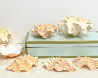 Seashells - Squamosa Shell -  Choose half or whole - beach decor/coastal decor/nautical/sea shells