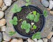 Wild Strawberry (4 plants...