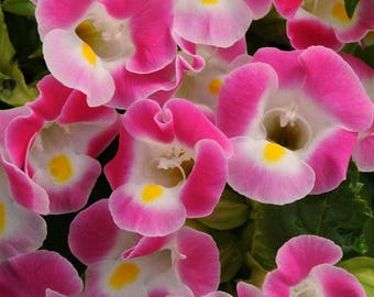 Torenia Seeds 500 Bulk Flower Seeds Kauai Rose