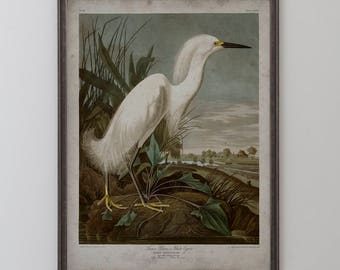 Snowy Heron: John James Audubon, Birds of America, Circa 1820's