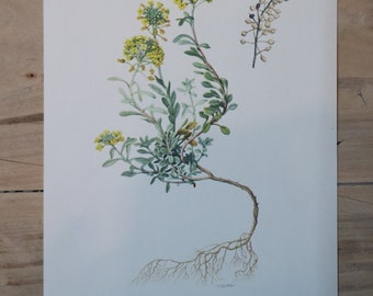 Vintage Plants Educational Board: Mountain Herb