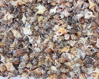 Cymatium Craft Tiny Seashells  (5 Shells)