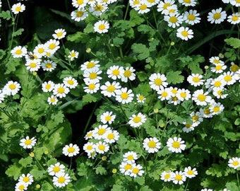 thrysanthemum 20 pcs lot button paldosum seeds beautiful flower bonsai plant DIY home garden