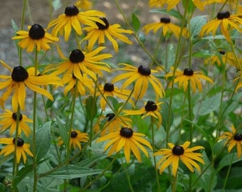 Black-eyed Susan Seeds. Rudbeckia hirta. Chemical free.