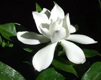 Gardenia Augusta AKA Jasminoides - Frost Proof Gardenias