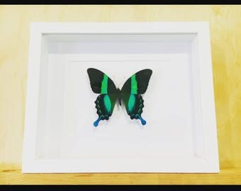 Real Papilio Blumei butterfly in white shadowbox frame.