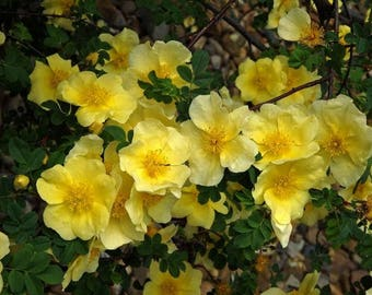Rosa Xanthina 30-1500 Seeds, Fragrant Wild Manchu Yellow Rose Shrub, Cold Hardy Bush