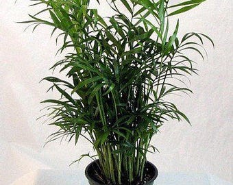 """LIVE Areca Palm aka Dypsis Lutescens Live PLant Golden Cane Palm, Butterfly Palm Indoor Plant Fit 4"""" Pot"""