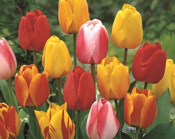 20 HYBRID TULIP BULBS - Tequila Sunrise Mix - Fall Shipping