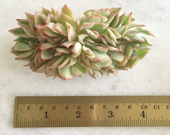Succulent-Echeveria Esther Crested