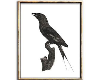 Blackbird Print, Scientific Bird Illustrations, Blackbird Vintage, Gothic Wall Art, Printable Art, Bird Print, Gallery Wall, Decor, Art