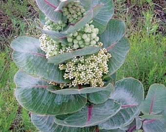 Broadleaf Milkweed Seeds/Asclepias latifolia / Butterfly Host Plant