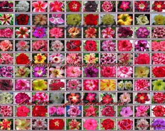 """Adenium Obesum Desert Rose """"separate and label"""" 10,000 Seeds 100 Type!"""