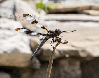 still dragonfly, digital download, fine art, photography, Large prints