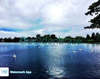 Swan on a Lake - Photo