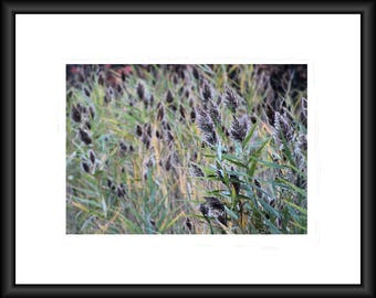 Fall Weeds, Photography, Free Shipping, Print, Framed Print, Canvas Wrap, Canvas With Floating Frame. Wall Art, Home Decor, Nature Photo
