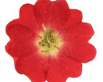 Pressed flowers, red rose 20pcs for art, craft, card making, scrapbooking