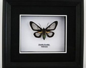 Cocytia d'urvillei Taxidermy Butterfly Moth in Matted Shadow Box Frame - Wall Decoration