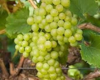 Grape vine - white (green) grapes