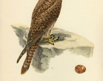 Vintage lithograph of the common kestrel or European kestrel from 1953