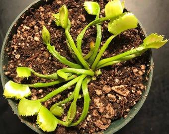 LIVE Dionaea Muscipula WACKY Venus Flytrap Carnivorous Plant