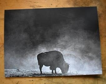 5x7 winter buffalo photo print/post card
