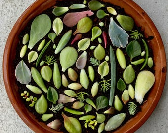 100 Assorted Succulent Leaves for Propagation