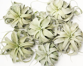 Pack of 6/3 Xerographica Wholesale Air Plant Tillandsia, Bulk Air Plant Wholesale Large Air Plant Succulent Wedding Decor, Hanging Air Plant