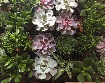 Large Healthy Succulents