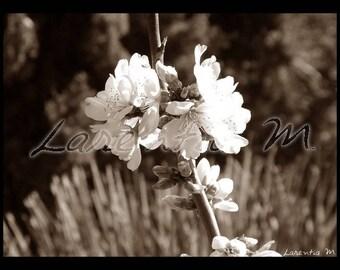 Photo sepia almond flowers 30X40cm