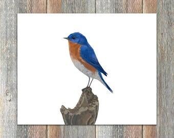 Eastern Bluebird Bird Print