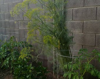 Dill  (Bouquet) Open-pollinated, Non-Gmo, Untreated, Handpicked Apx.  70 Seeds