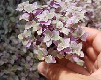 Setcreasea/Succulent plant