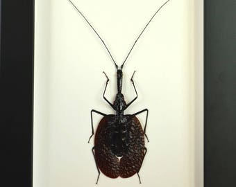 "Beetle ""Violin"" Phylllodes mormolyce Indonesia under glass with frame. This is a curiosity of nature"