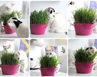 ORGANIC CAT GRASS - Favorite Grain Mixture - 1 lb. seeds