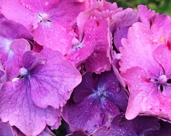 Purpley Pink Hydrangea - Digital Print