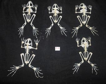 Taxidermy Real Frog Skeleton Fejervarya Limnocharis 5 Pieces