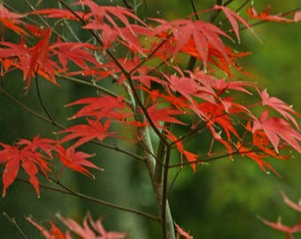 Fall leaves, Nature Photography, Autumn, Leaves, Japanese Maple, Red leaves