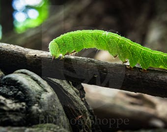 Bright Green Caterpillar | Macro Photo Art | Nature Lover Gift | Fine Art Photography | Personalization | BDPhotoShoppe | Home Office Decor