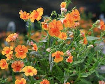 Nemesia- Orange Prince- 100 Seeds