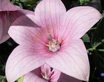 Balloon Flower- Platycodon- Rose 25 Seeds