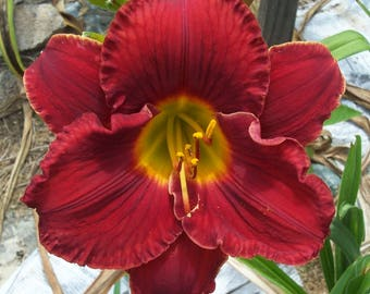 Daylily Plant - Forever Red